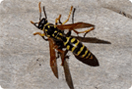Wasps, Yellow Jackets & Hornets