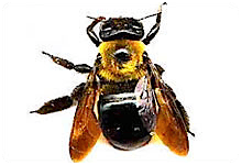 photoCarpenterBees