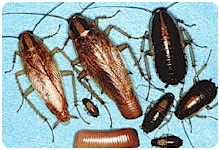 photoGermanCockroaches