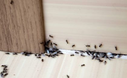 Ants inside the home near crack in the door