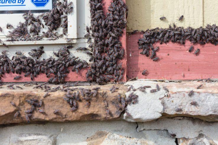 Overwintering boxelder bugs on window