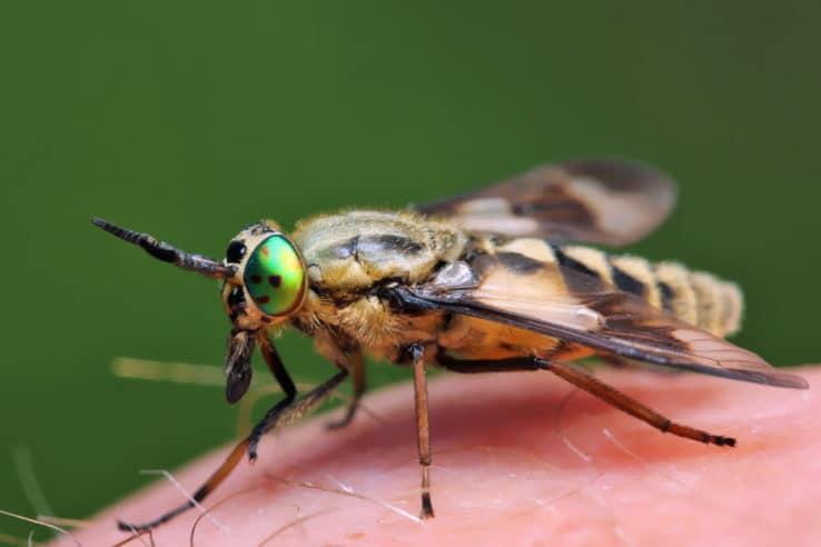 Horsefly on skin
